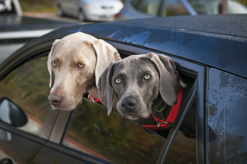 8473706-dogs-in-car